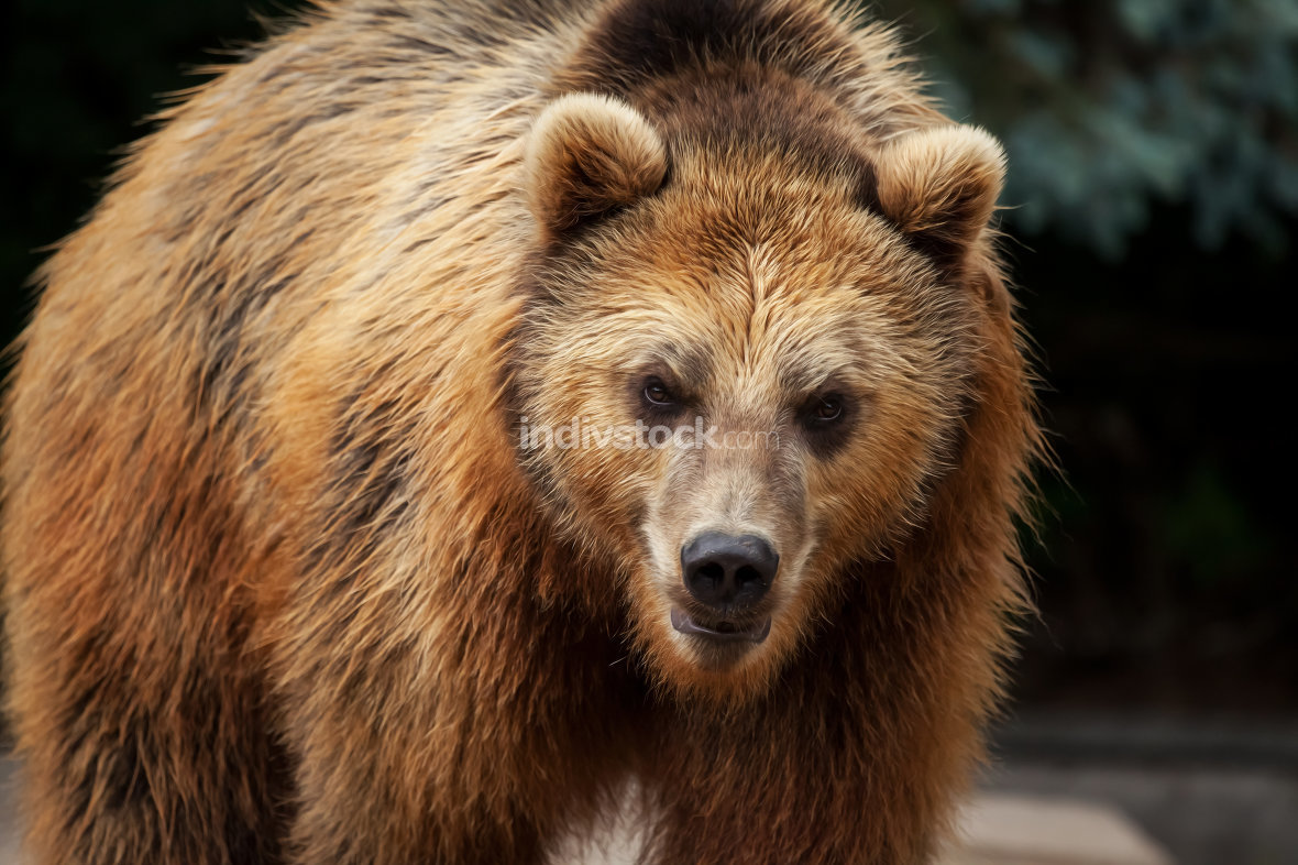 male brown bear walks arround in his territory