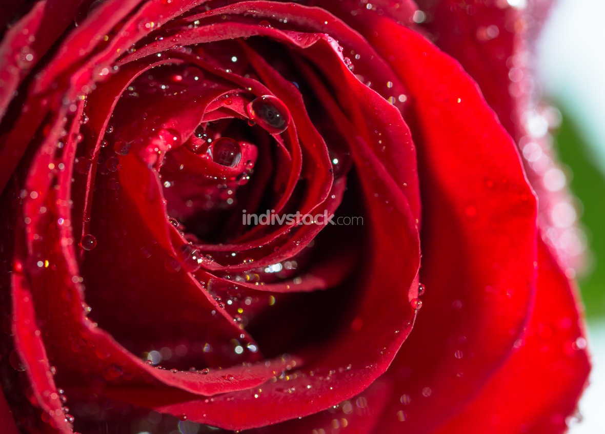 red rose with water drops