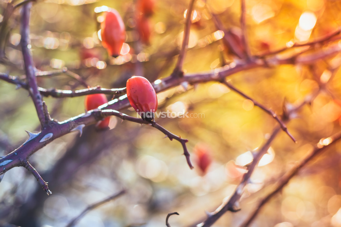 Rosehips shrub in nature III