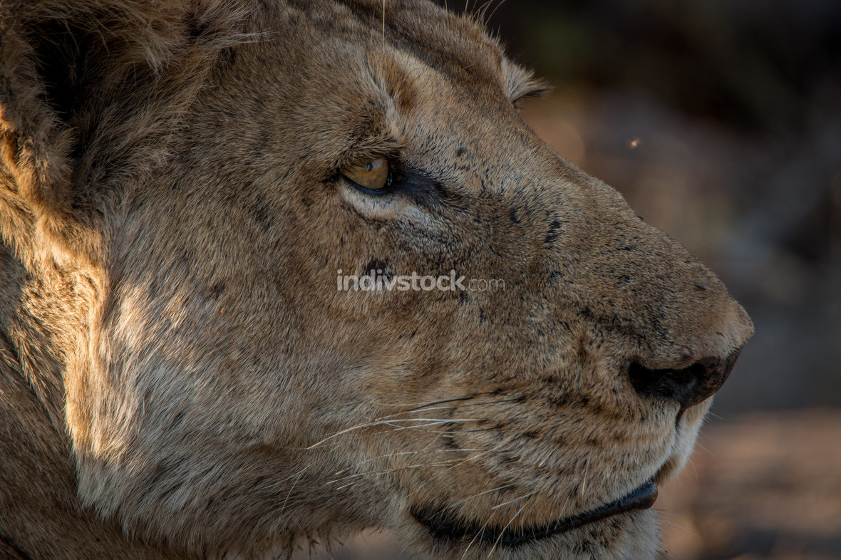 Side profile of a Lion in the Kruger National Park.