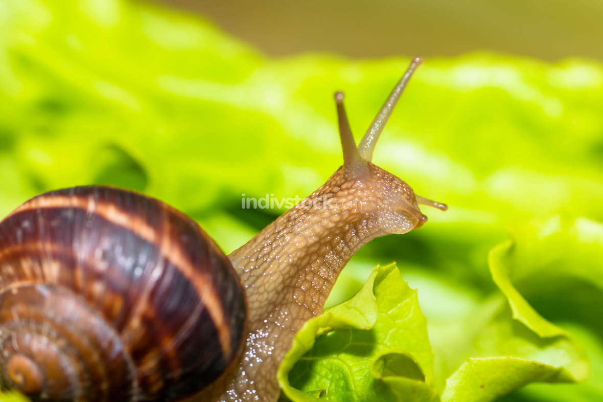 Snail [helix pomatia] eating and crawling on lettuce leaf