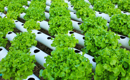 Field of fresh and tasty salad/lettuce plantation.