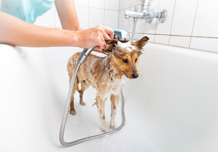 shetland sheepdog under shower