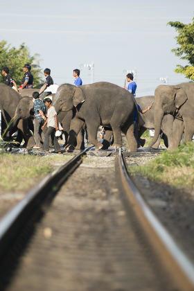 THAILAND SURIN ELEPHANT ROUND UP FESTIVAL