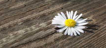 Wild daisy over wooden weathered background
