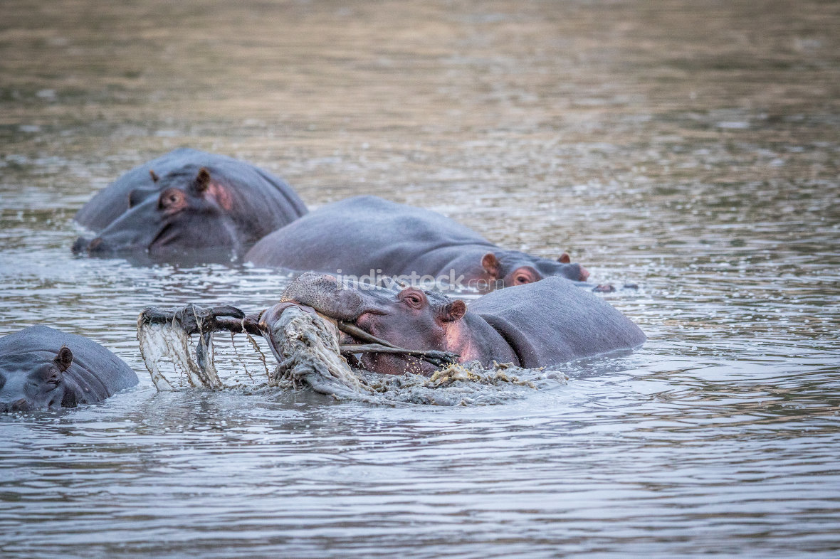 A hippo lifting an impala out of the water in the Kruger.