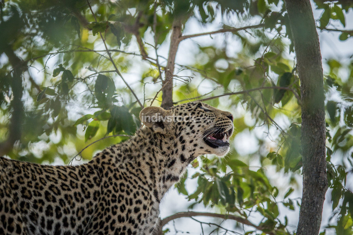 A Leopard looking up in a tree in the Kruger.
