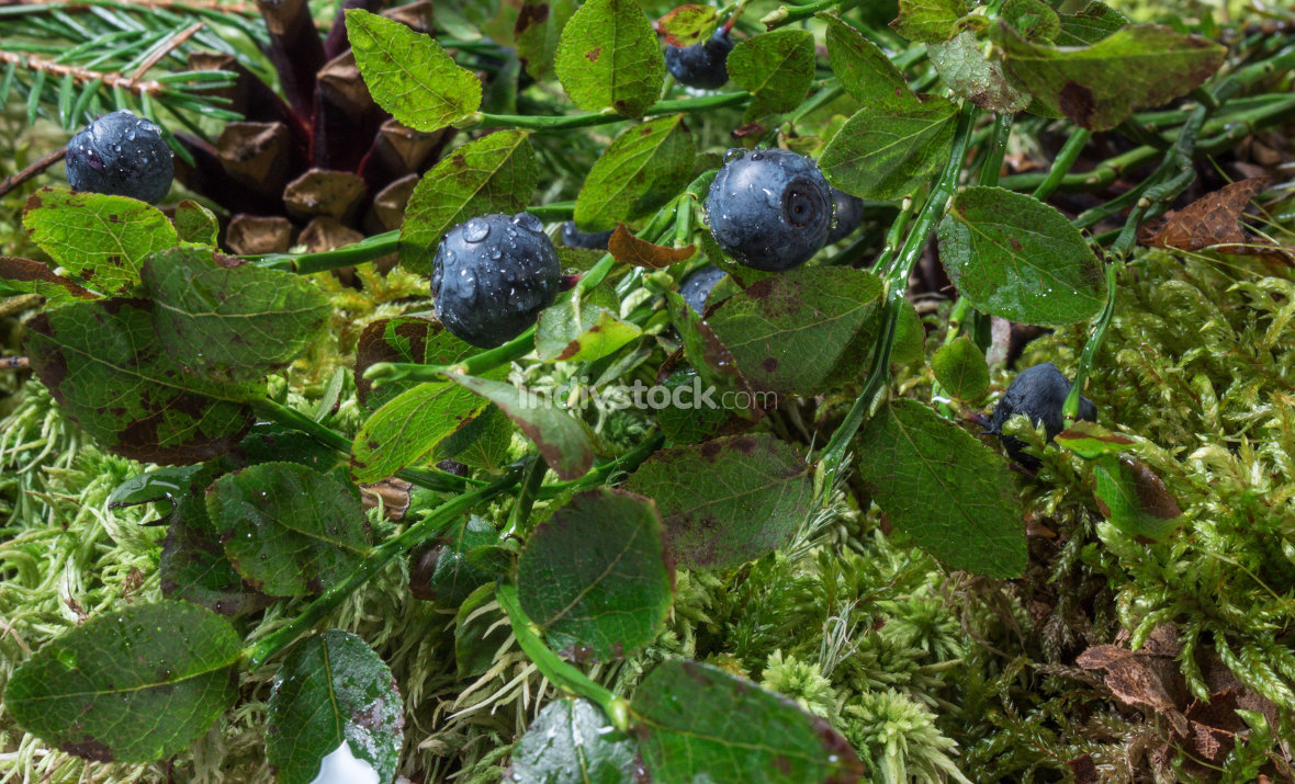 Blueberries with drops of water illuminated by the sun. Natural background