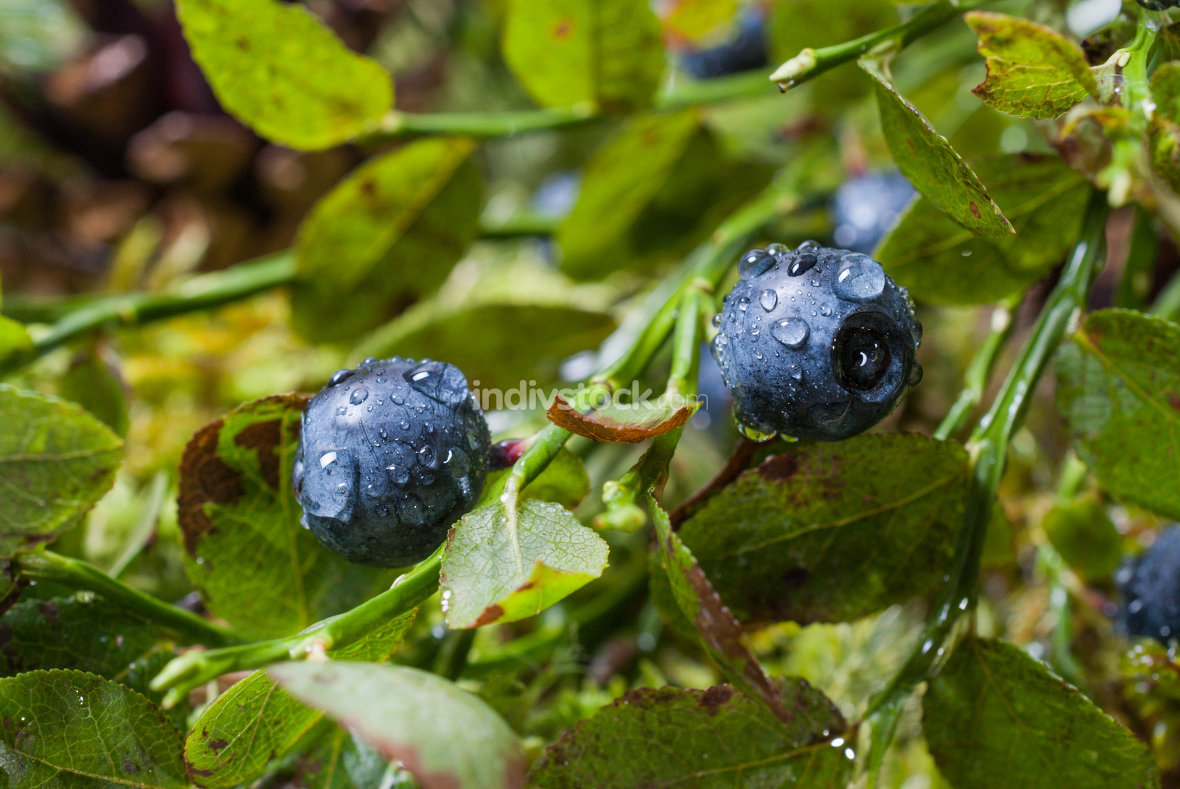 Blueberries with water drops after rain