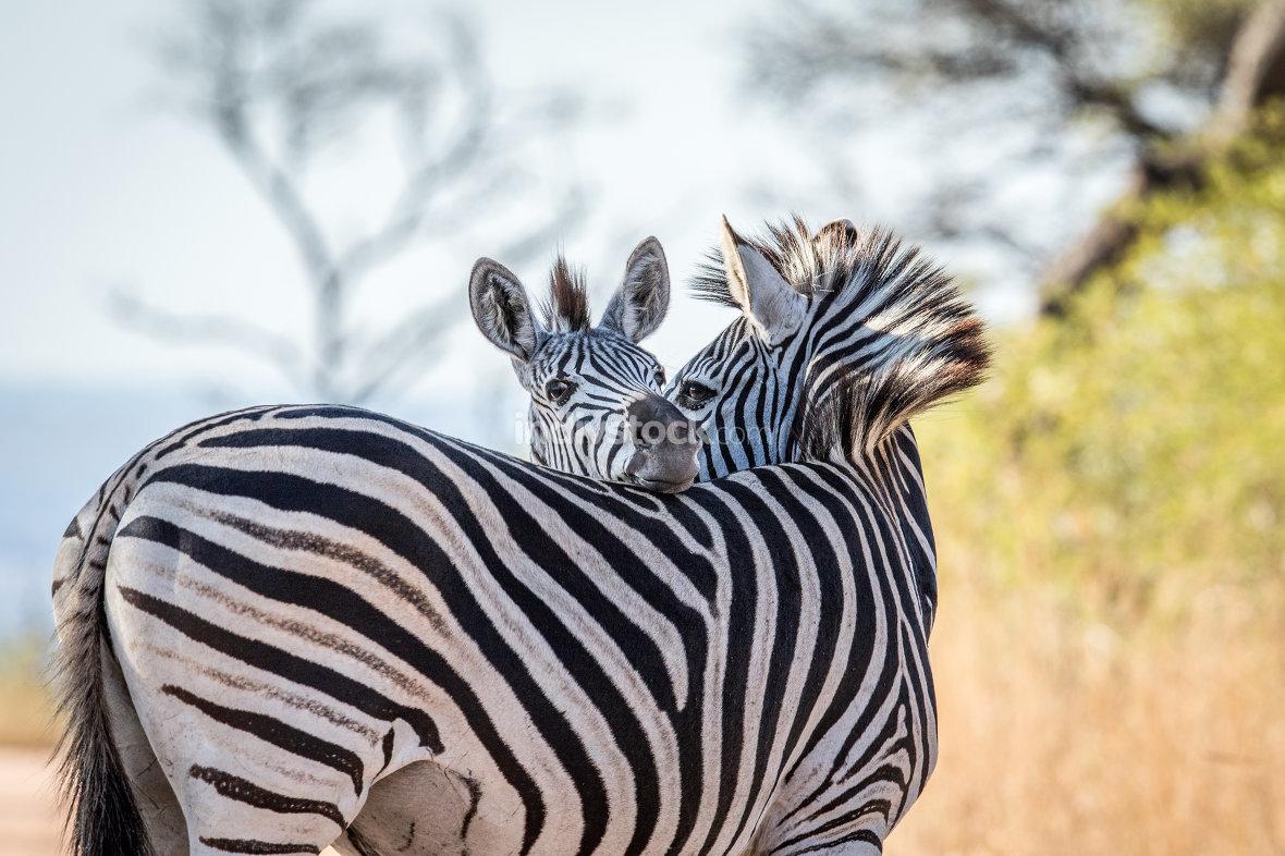 Bonding Zebras in the Kruger.