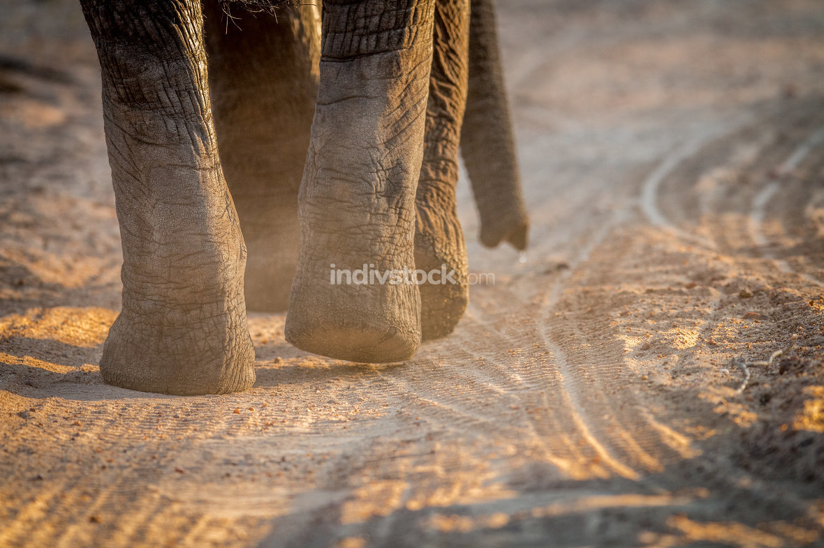 Close up of Elephant feet in the Kruger.