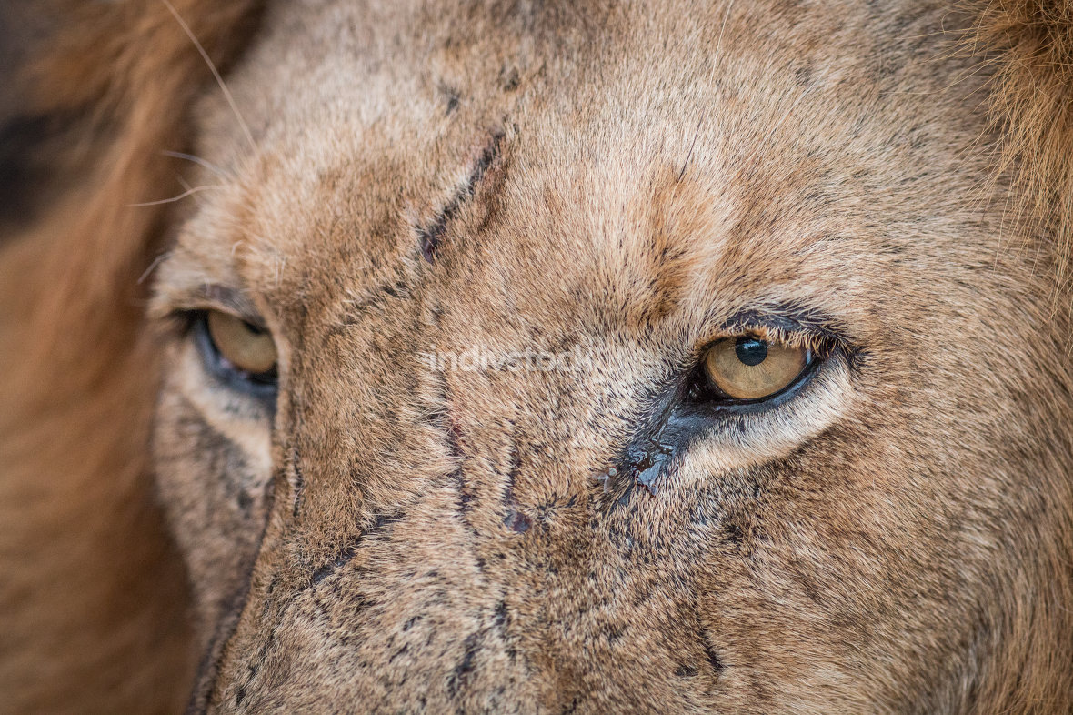 Close up of Lion eyes in the Kruger.