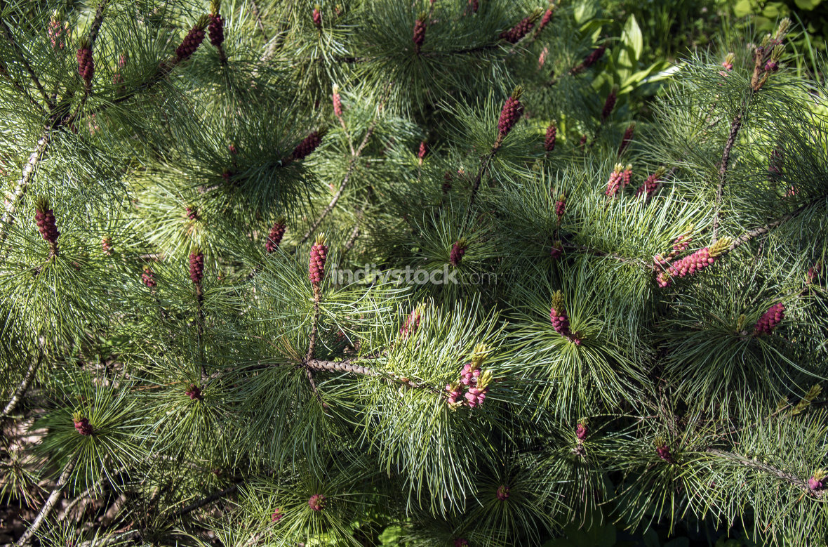 flowering season fir trees, young red pine cones on green background closeup