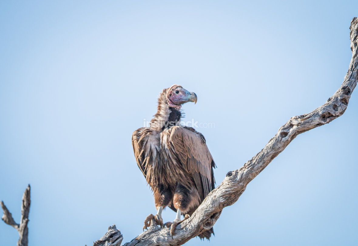Lappet-faced vulture on a branch in the Kruger.
