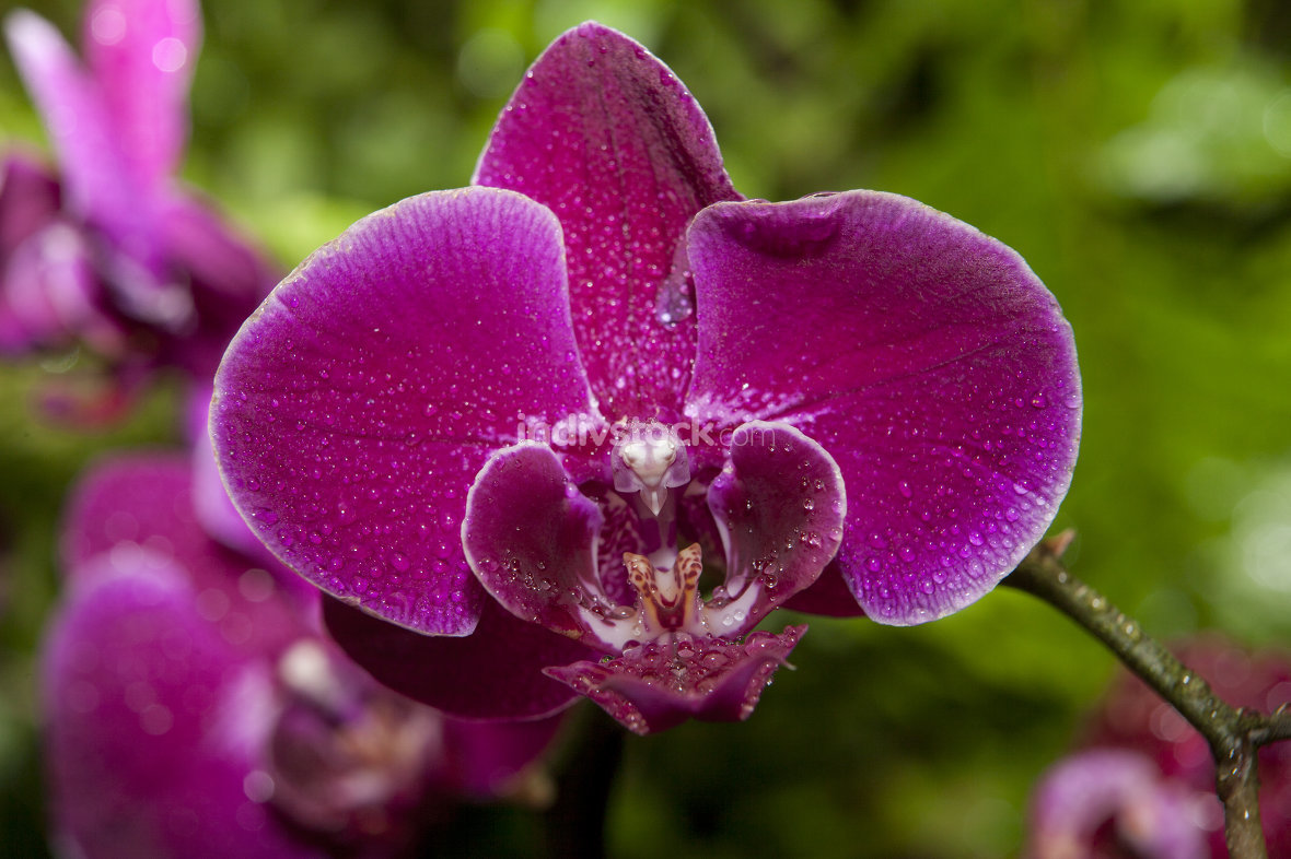 Phalaenopsis orchid full of dew