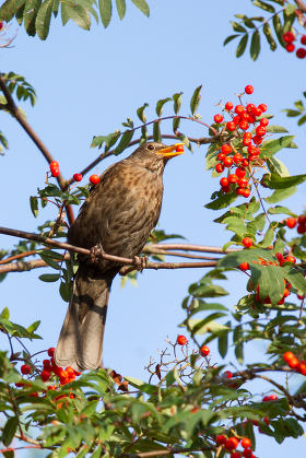 A blackbird is eating