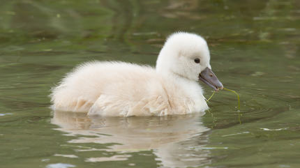 A cygnet is swimming