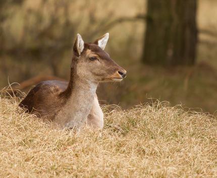 A fallow-deer