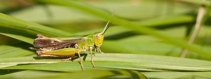 a grasshopper on the grass in Belgium