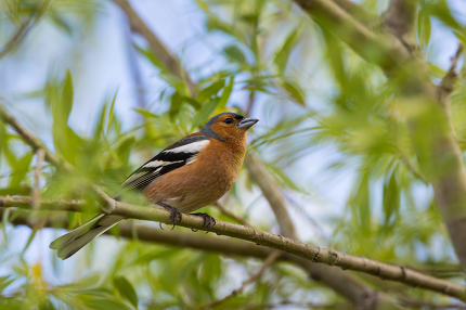 A male Chaffinch on a forest perch in New Zealand.