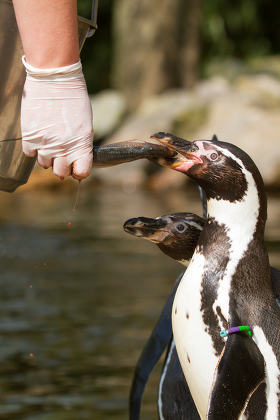 a pinguin is being fed in a dutch zoo