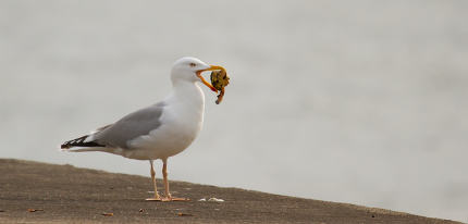 a seagull is eating crab in a harbour