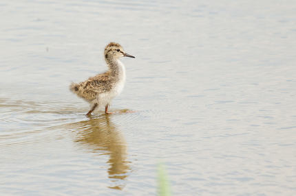 A young common redshank