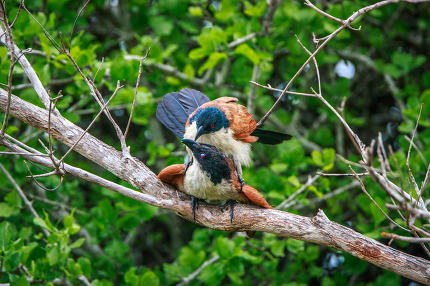 Burchell's Coucal mating in a branch.