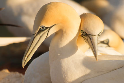 Couple of gannets in Helgoland
