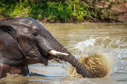 Elephant playing with the water.