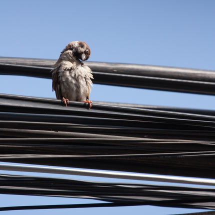 Eurasian Tree Sparrow sitting on a power cable, cleaning itself