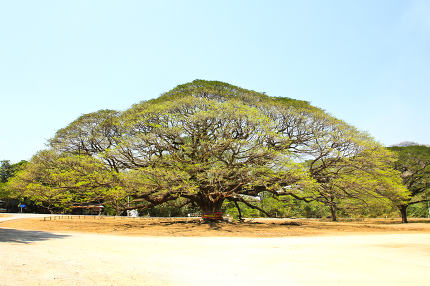 Largest Monkey Pod Tree in Kanchanaburi, Thailand
