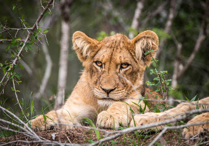 Lion cub starring at the camera.