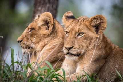 Lion cubs relaxing in the grass.
