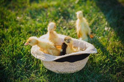 Little cute ducklings in hat.