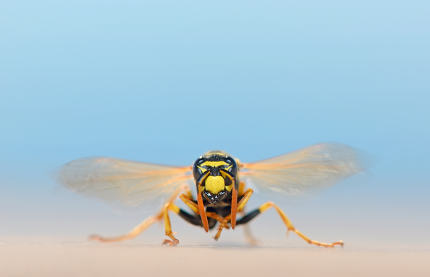 macro wasp in nature