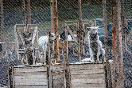 Photo of a Husky dogs watching through the cage door