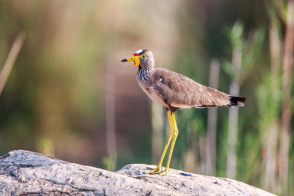 Profile of an African Wattled Lapwing.