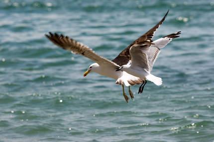 Sea Gull in New Zealand coast.