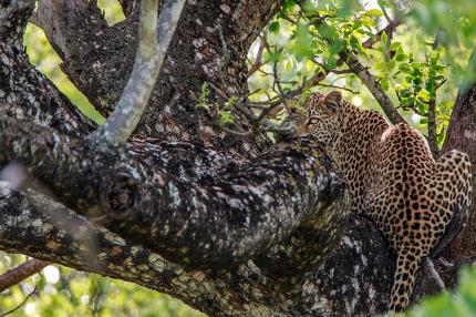 Stunning Leopard on a tree.