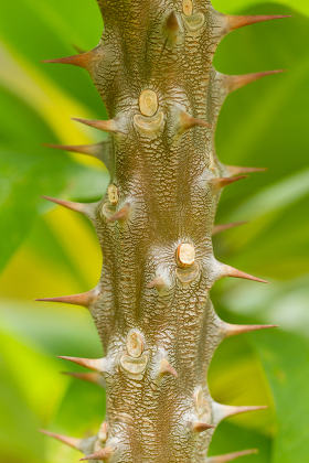 thorns on a tree Vietnam
