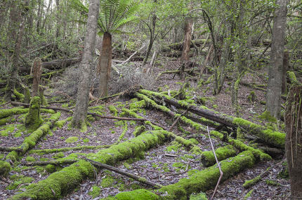 Tropical forest in Mount Field National Park, Tasmania. Australi