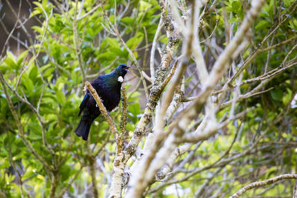 Tui Bird/ a native of New Zealand, the male Tui with it's white plume is considered a national icon