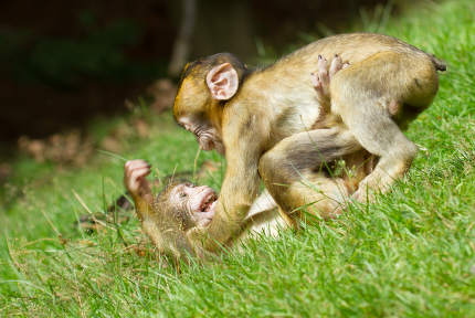 Two young monkey fighting
