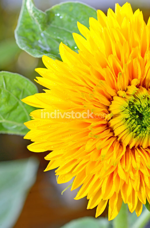 decorative sunflower