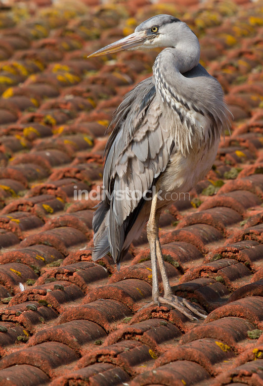 a blue heron on a roof in Holland