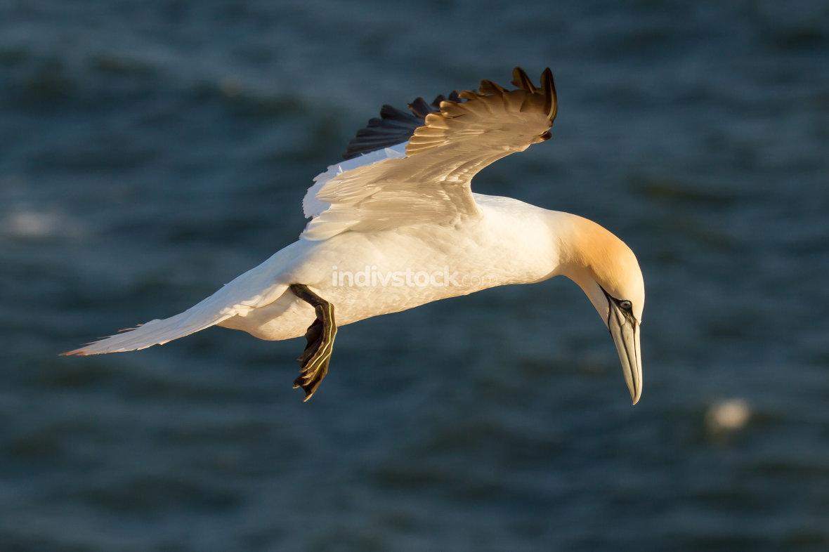 A gannet is flying in Helgoland