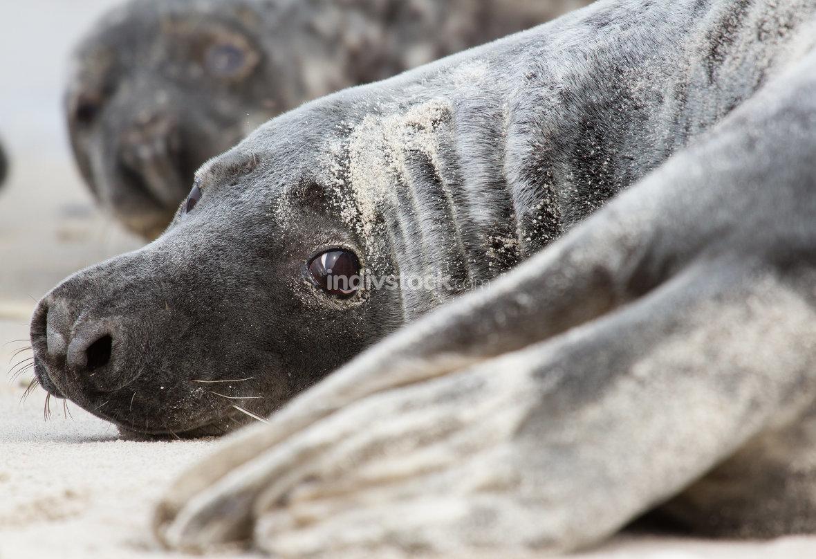 A grey seal