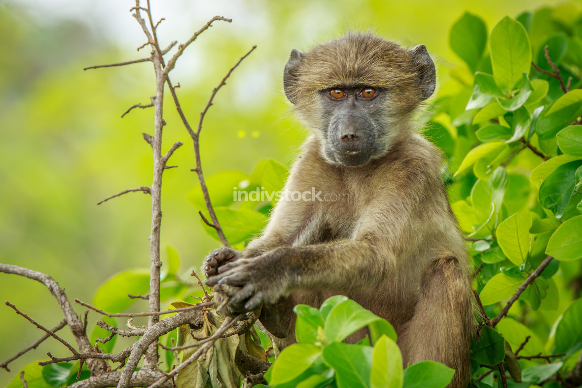 Baby Baboon relaxing in the tree.