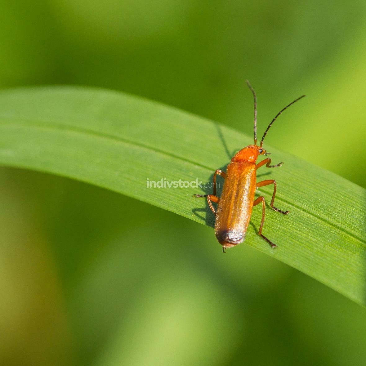 Beetle Rhagonycha fulva